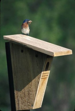 Bluebird on Nest Box