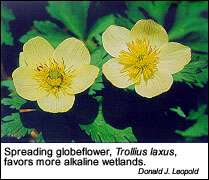 Spreading globeflower