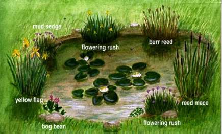 Ponds and pond plants a plant 39 s home for Large pond plants